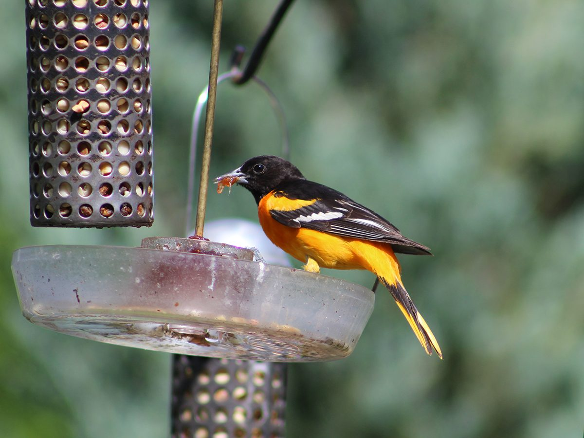 In the backyard photography - Baltimore oriole at feeder