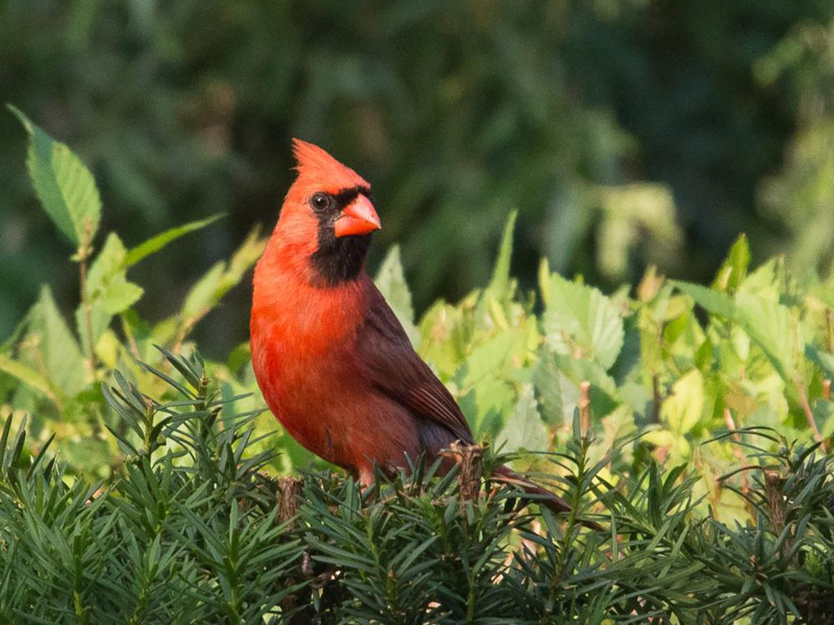 In the backyard photography - cardinal perched on spruce hedge