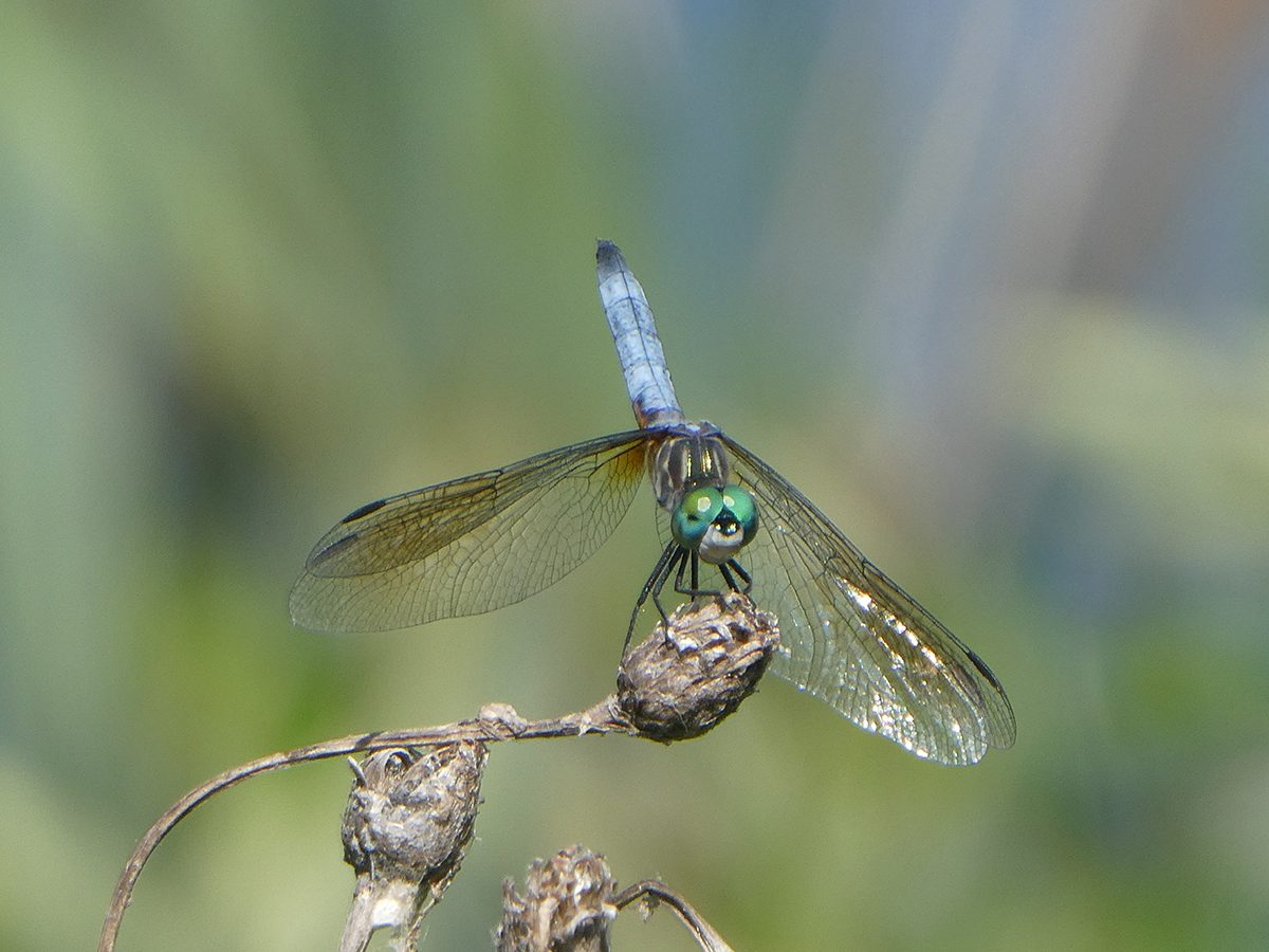 In the backyard photography - dragonfly