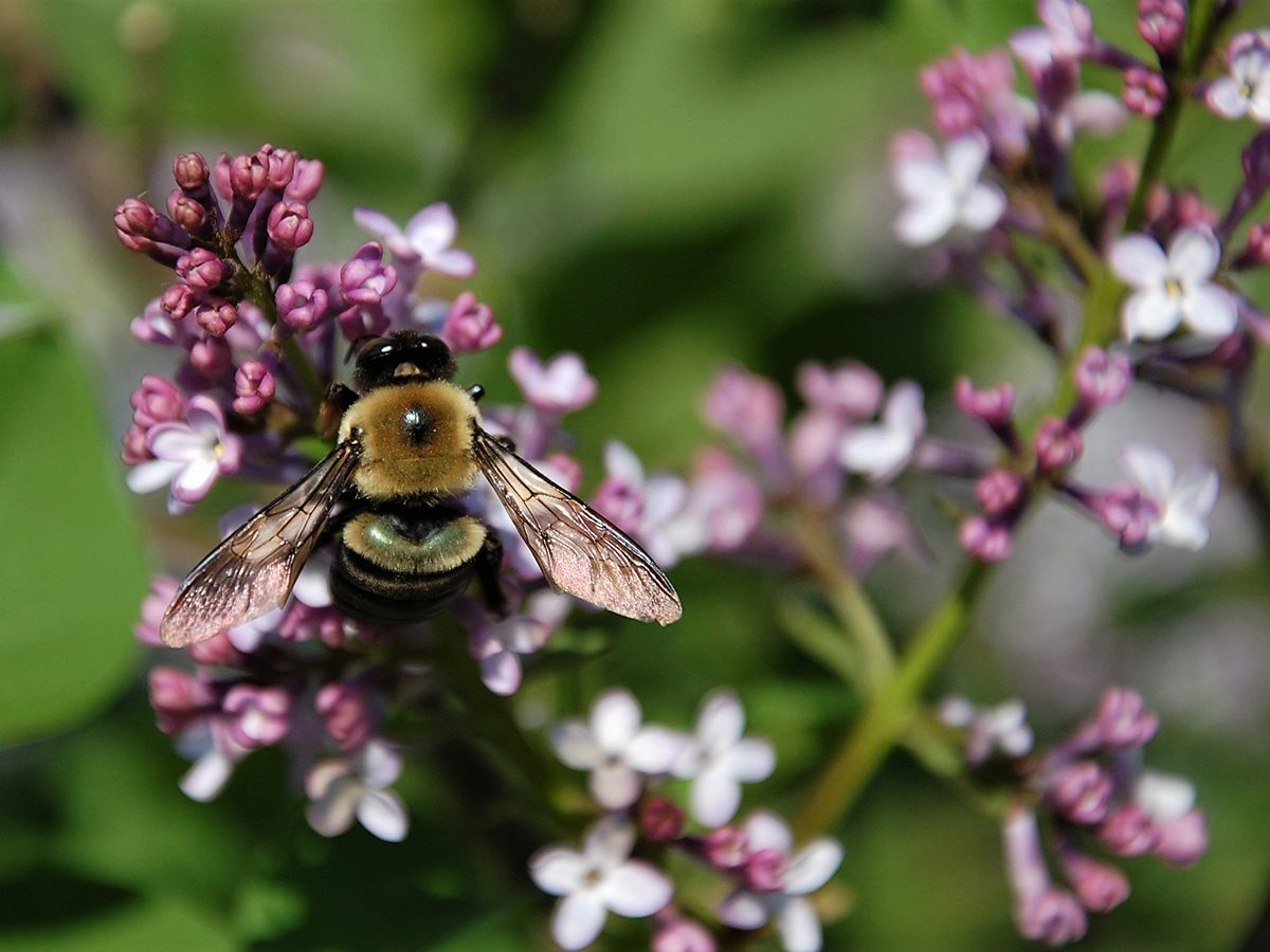 In the backyard photography - bee on lilacs