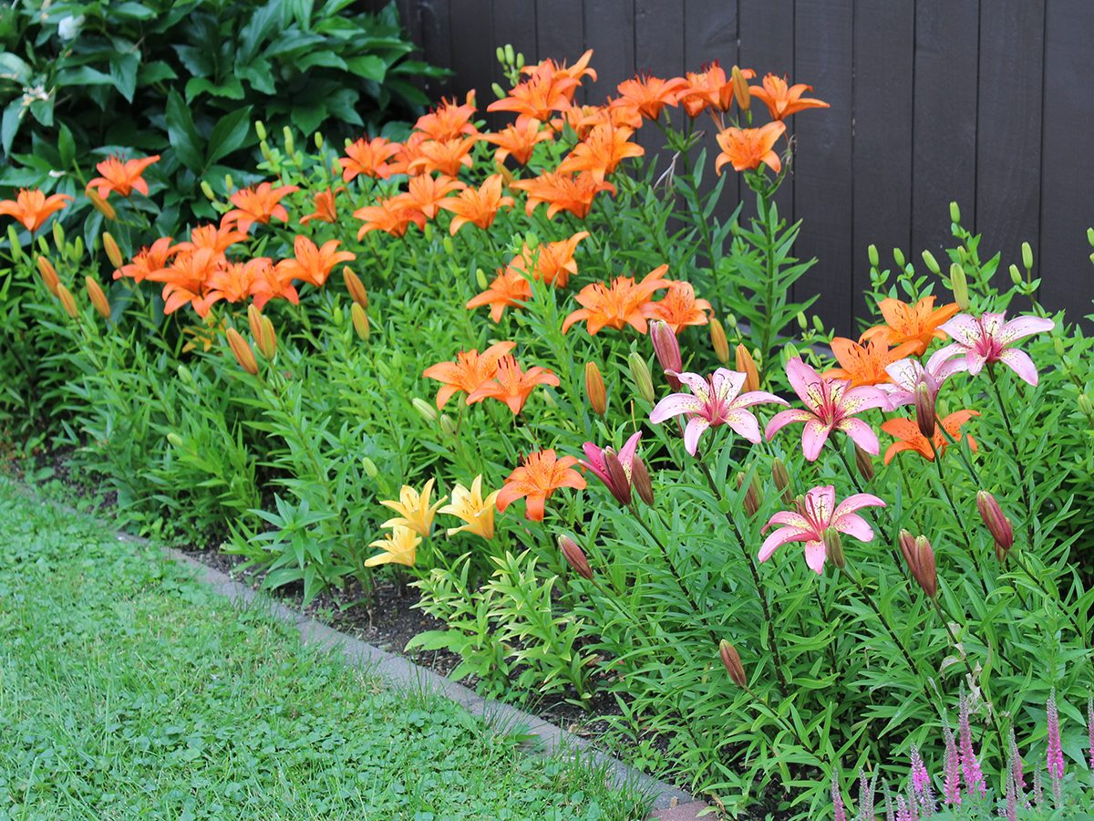 In the backyard photography - lilies in flower bed