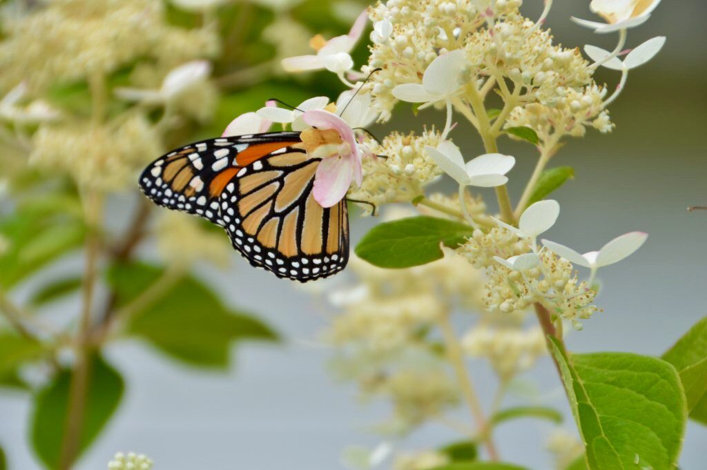 In the backyard photography - monarch butterfly on hydrangea