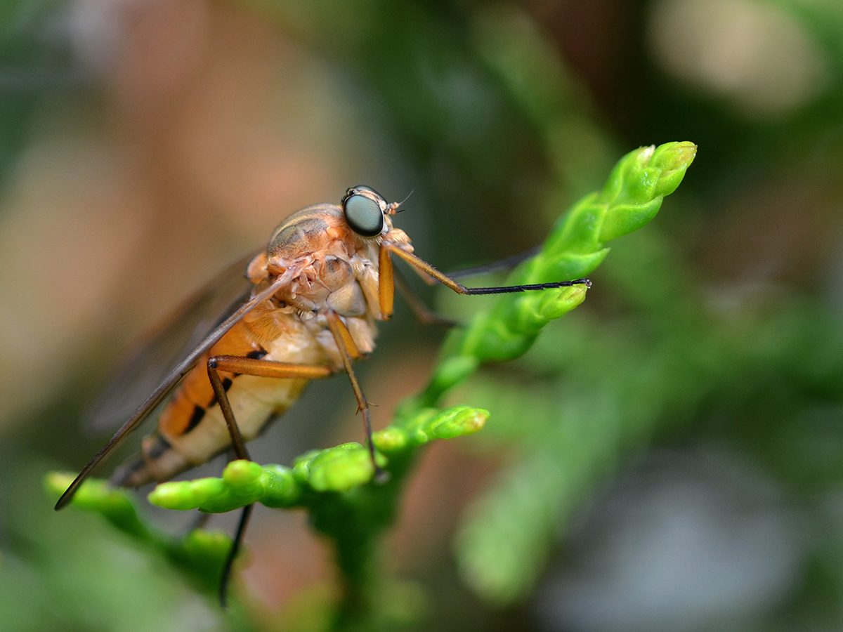 In the backyard photography - portly snipe fly macro