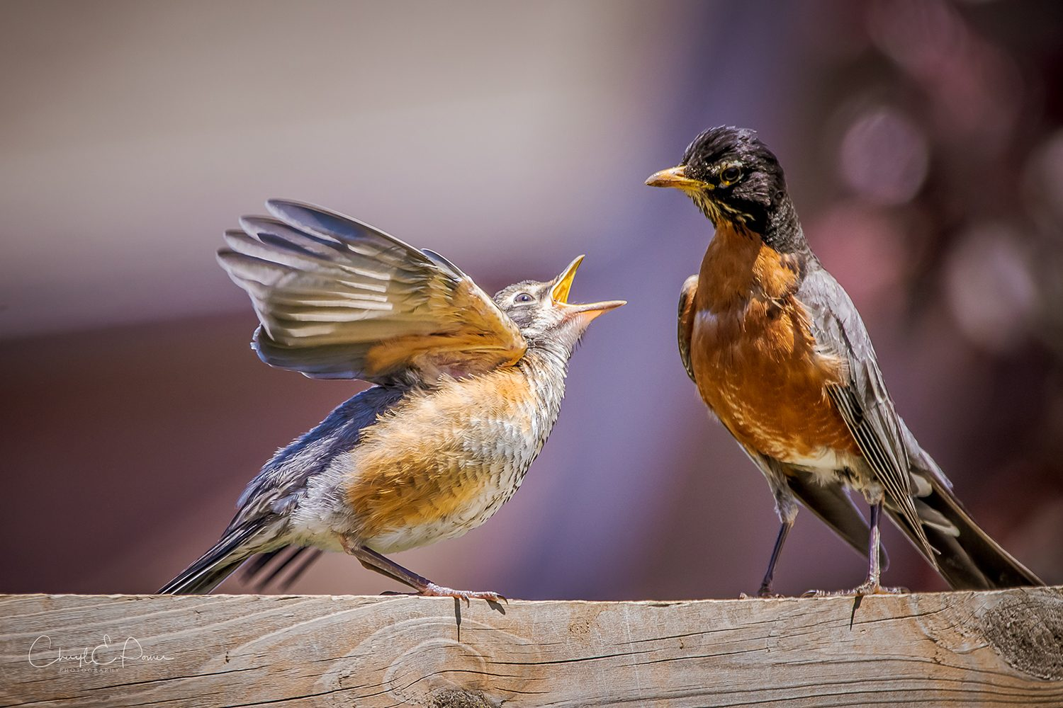 In the backyard photography - robins