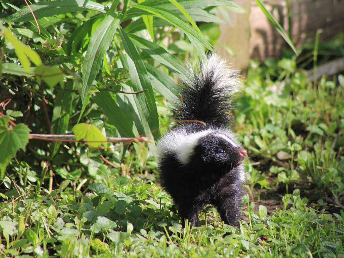 In the backyard photography - skunk
