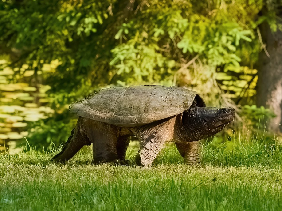 In the backyard photography - snapping turtle