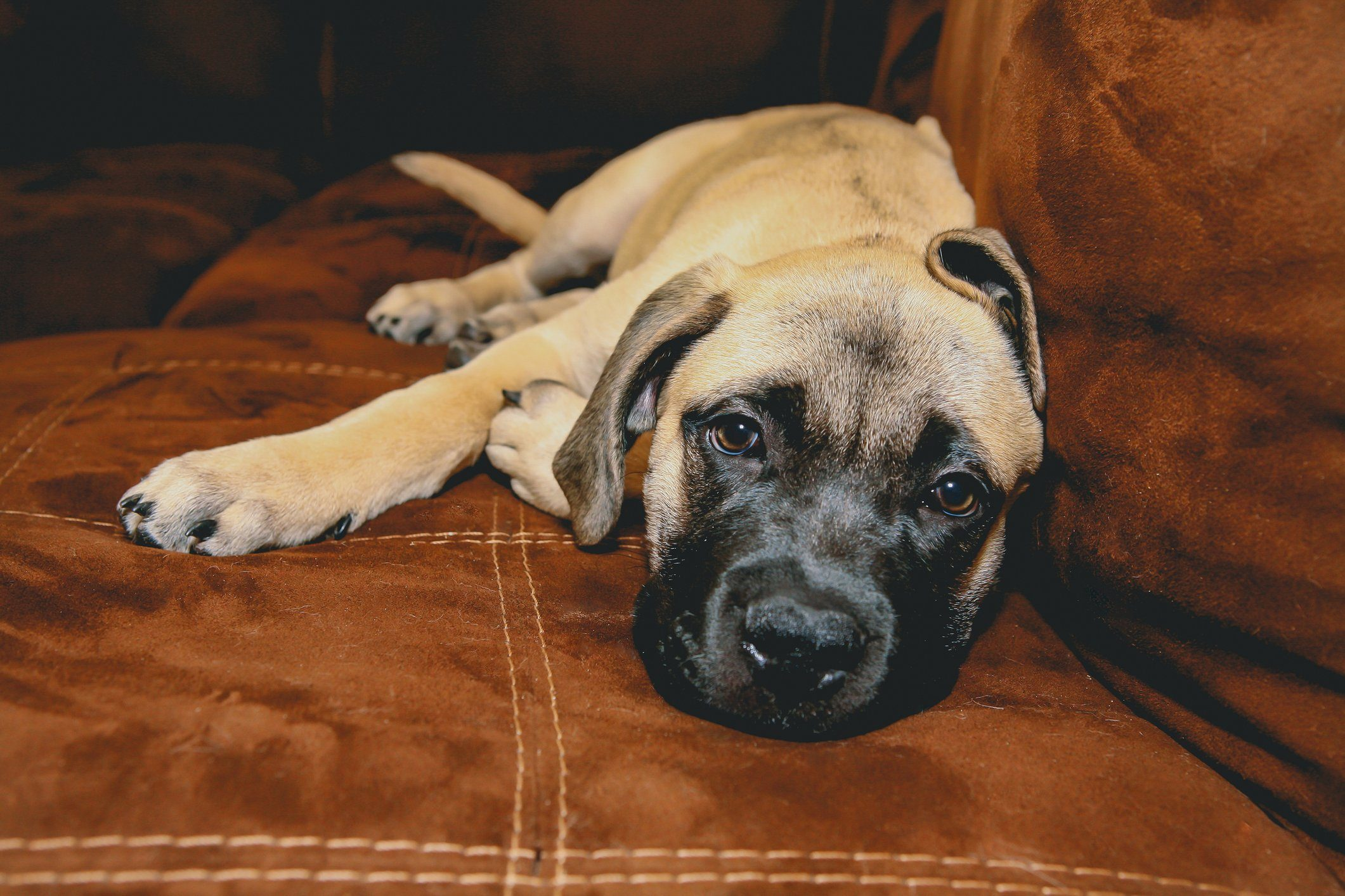Lazy dog breeds - Bull Mastiff Puppy Laying On Couch