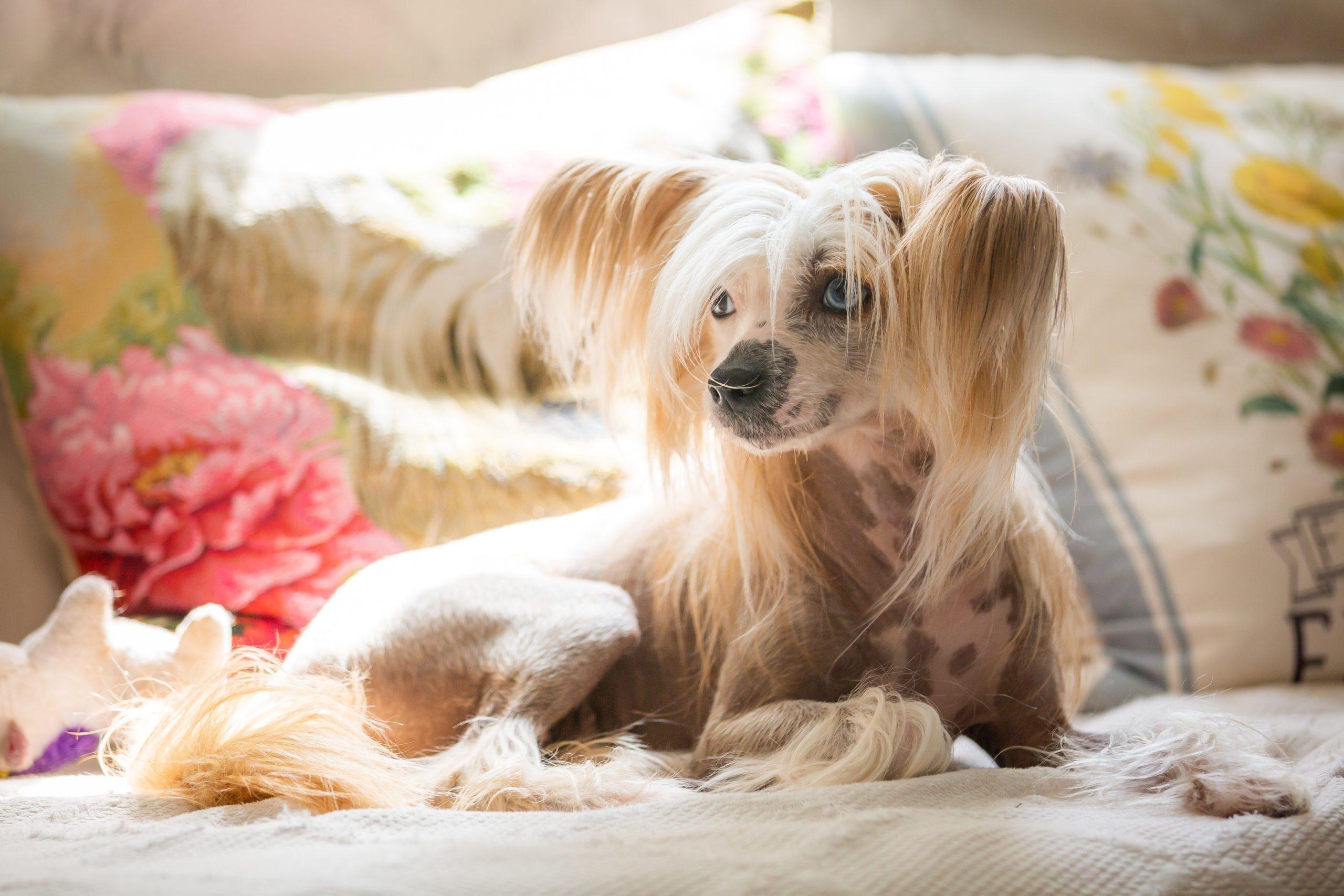 Lazy dog breeds - Chinese crested dog
