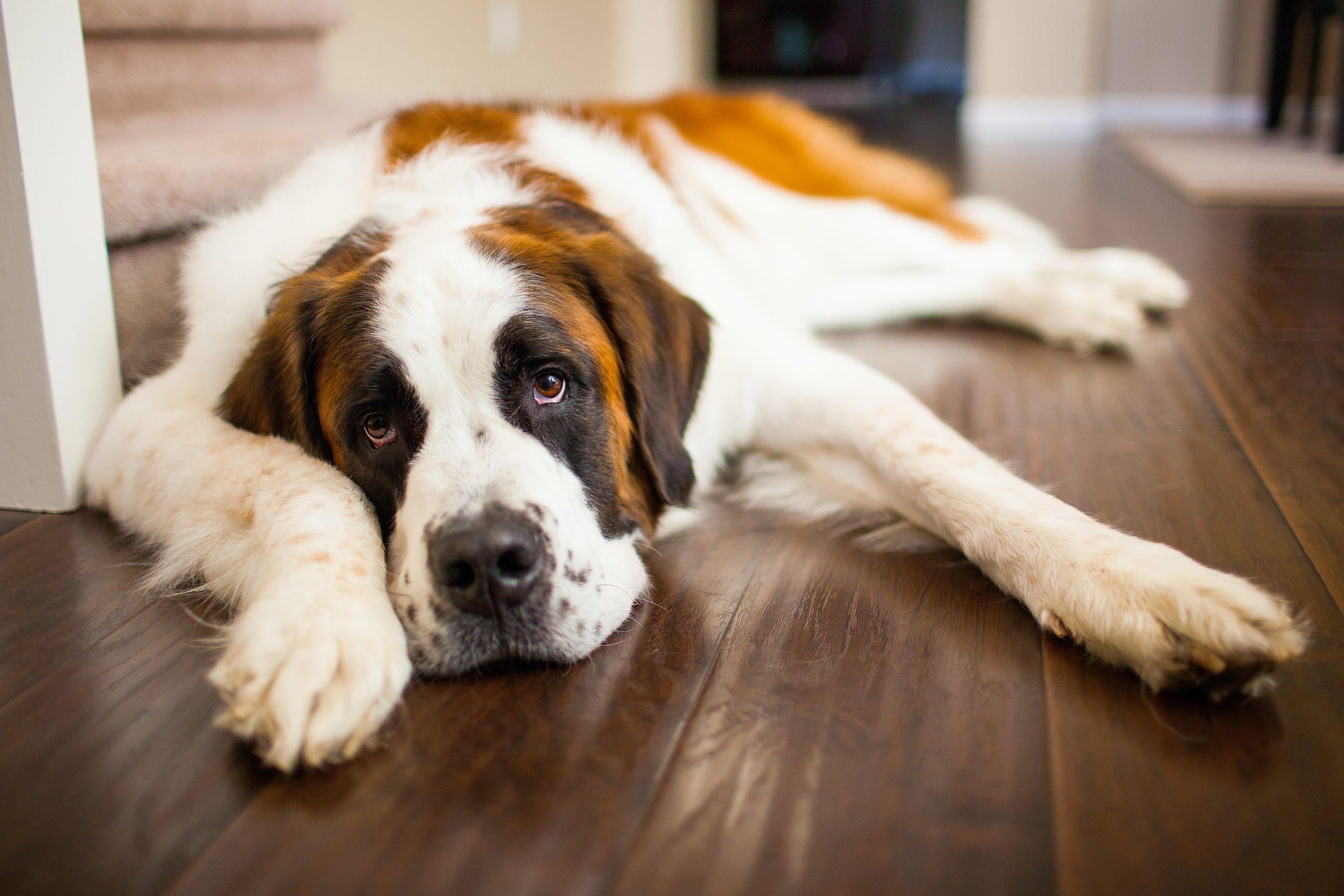 Lazy dog breeds - Saint bernard