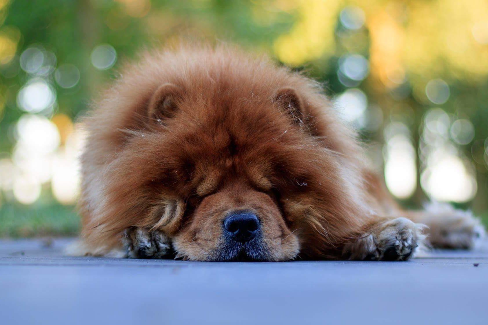 Lazy dog breeds - chow chow