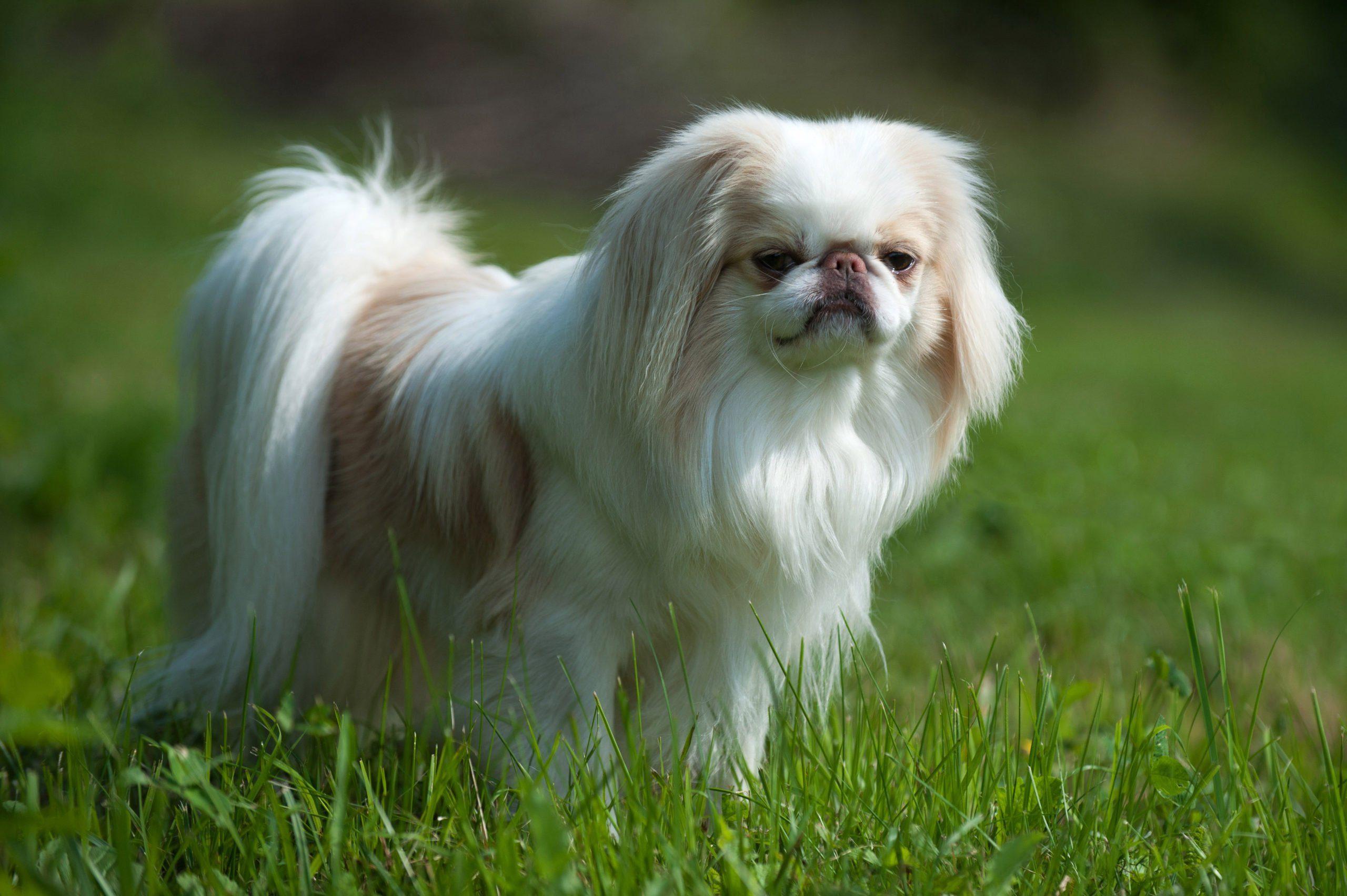 Lazy dog breeds - Japanese Chin