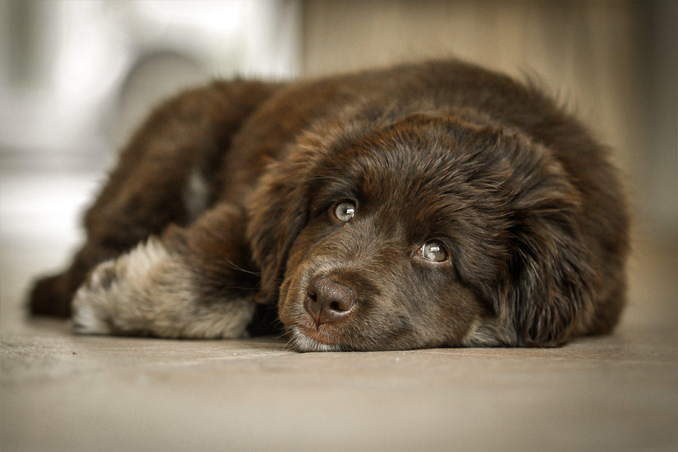 Lazy dog breeds - newfie
