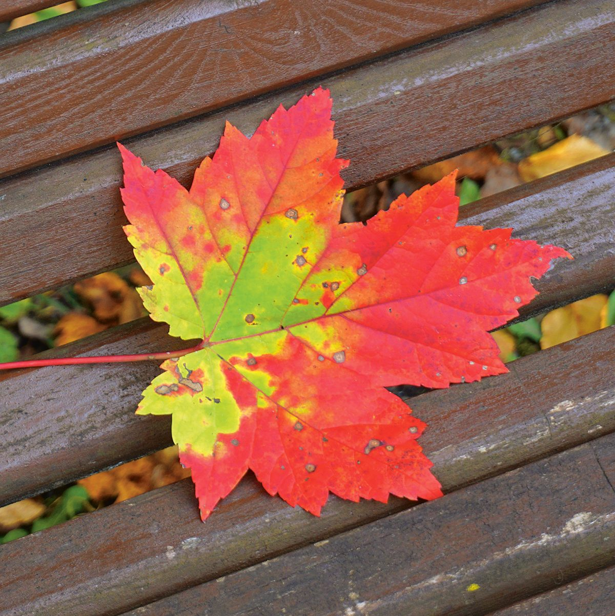Autumn in Canada - green orange and red maple leaf