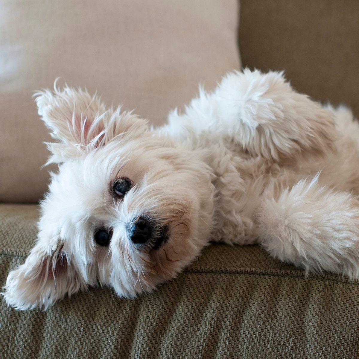 Fluffy white dog laying on lounge