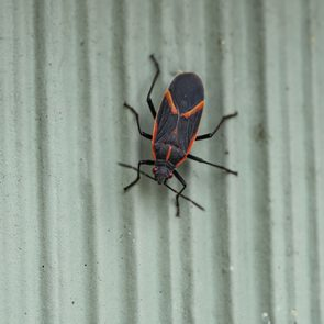 Red and black bugs on house