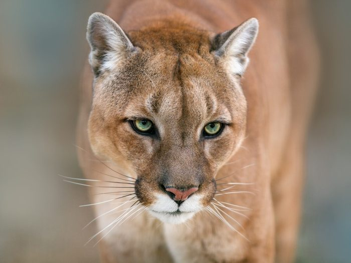 The woman who wrestled a cougar - portrait of a cougar