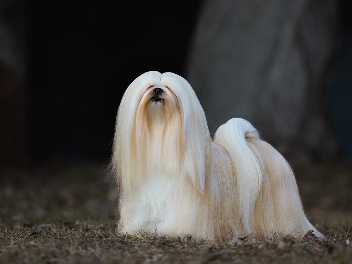 Dog breed based on your zodiac - ihasa apso