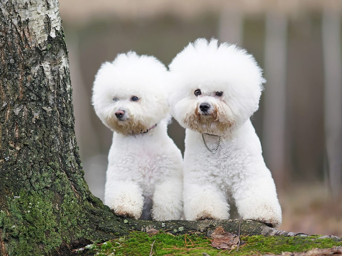 Dog breed based on your zodiac - bichon frise