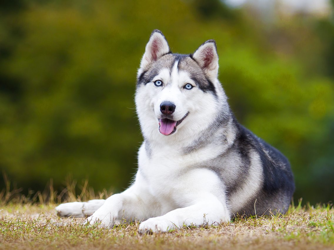 Dog breed based on your zodiac - siberian husky