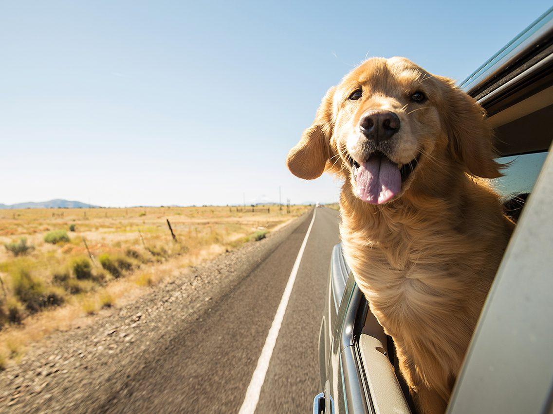 Dog breed based on your zodiac - golden retriever