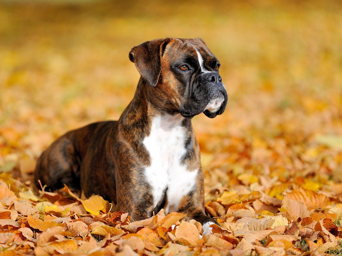 Dog breed based on your zodiac - boxer