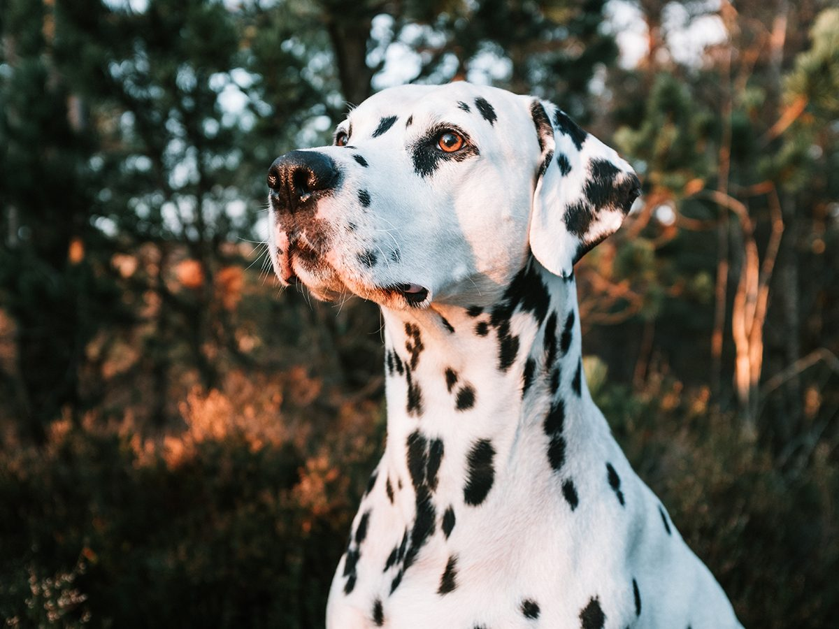 Best pet according to your zodiac - Dalmatian