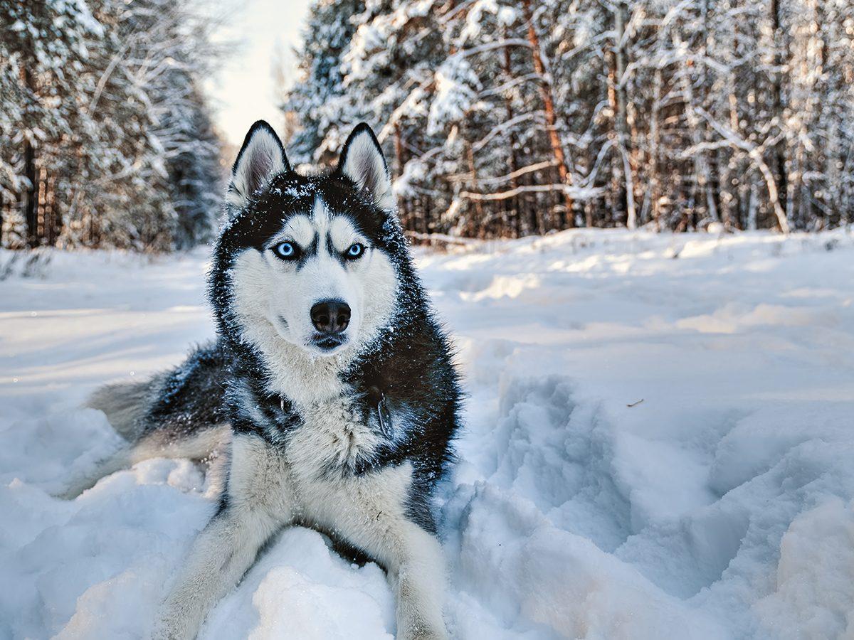 Best pet according to your zodiac - husky