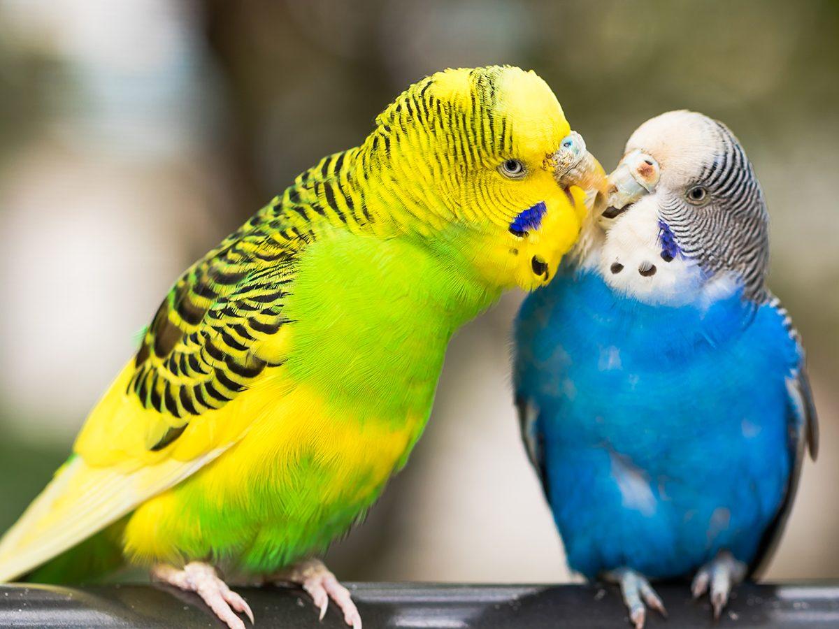 Best pet according to your zodiac - lovebird