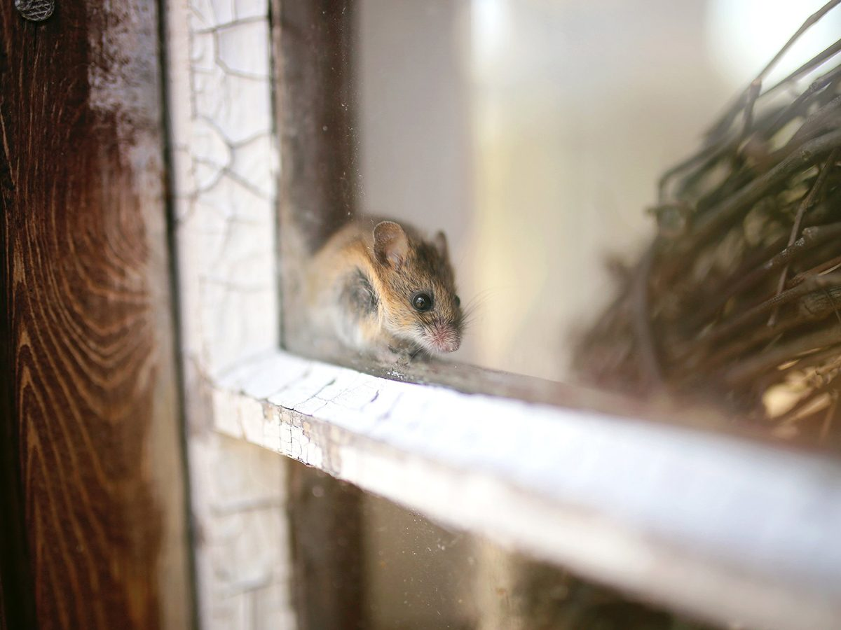 Home fire hazards - A cute little grey House Mouse is sitting on the window will of a shed, trying to hide.