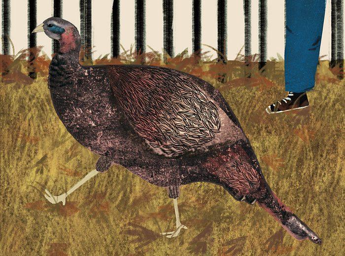 lost wild turkey in a park