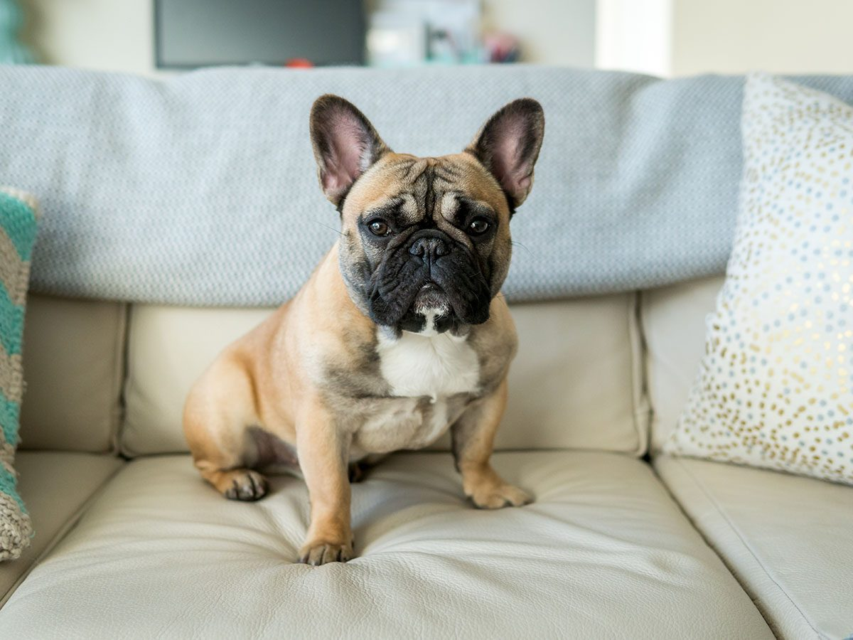 Most popular dog breeds in Canada - French bulldog