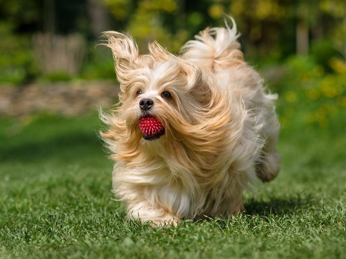 Most popular dog breeds in Canada - Havanese