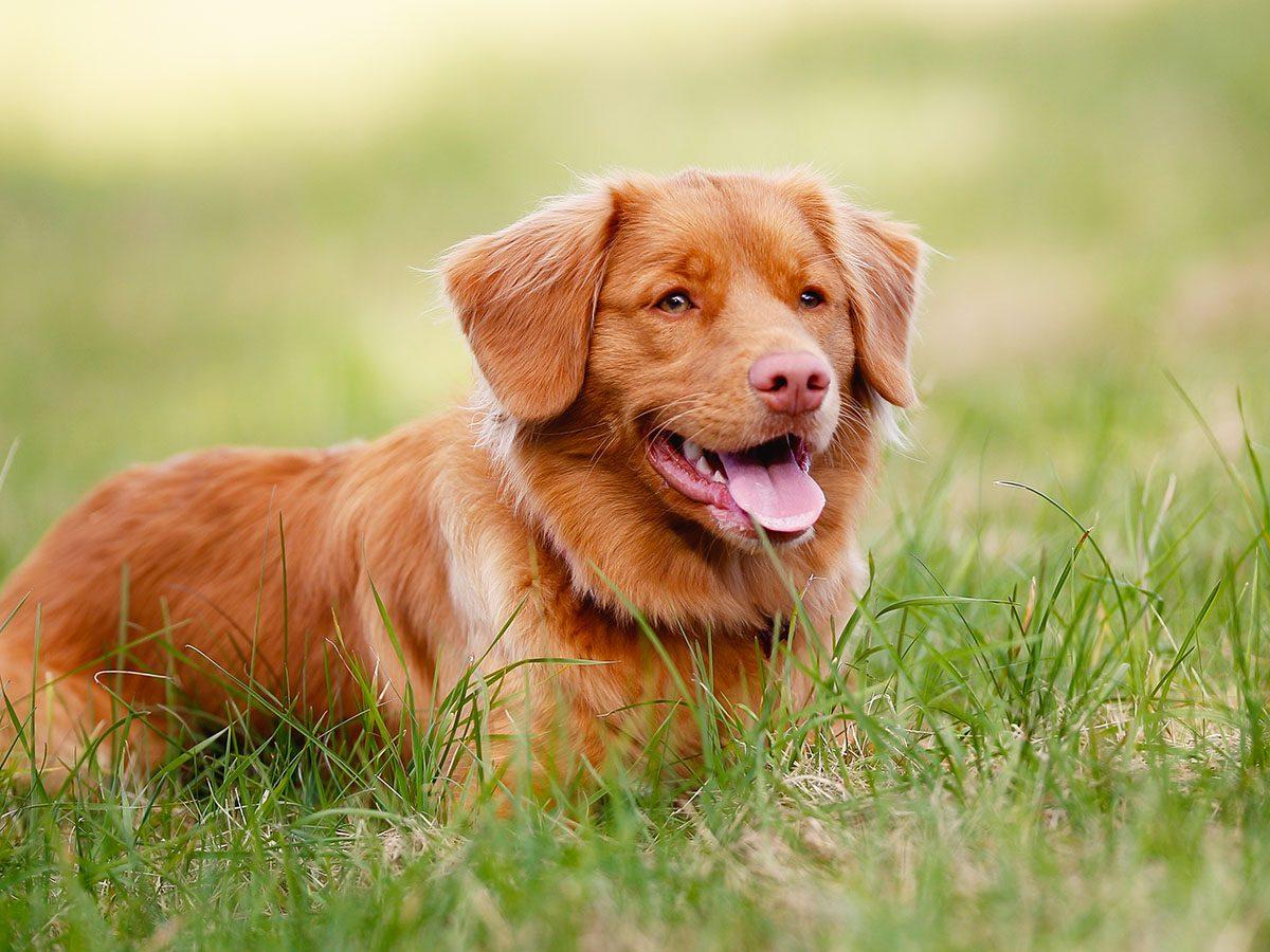 Most popular dog breeds in Canada - Nova Scotia Duck Tolling