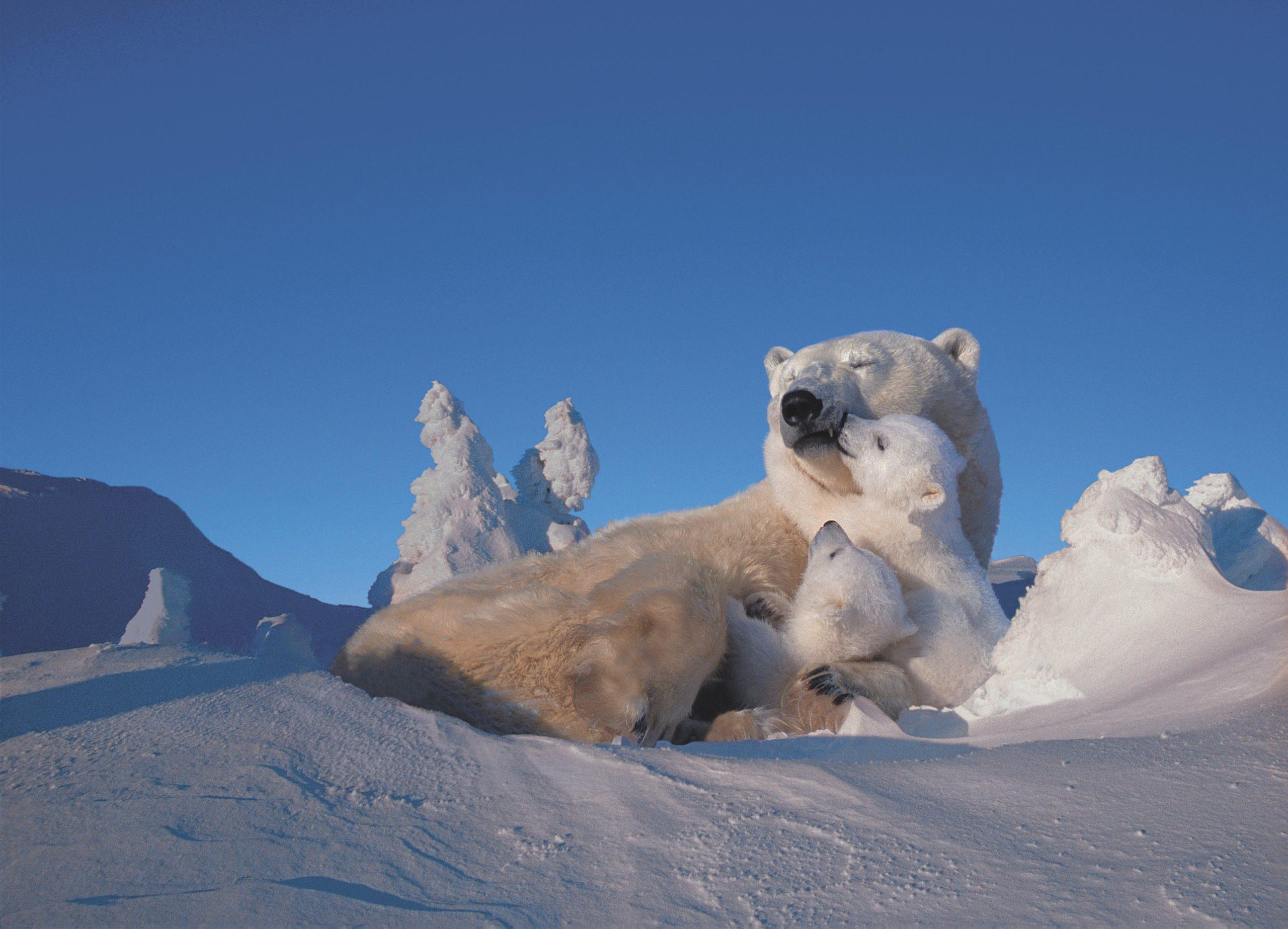 Polar Bear and Cubs Resting