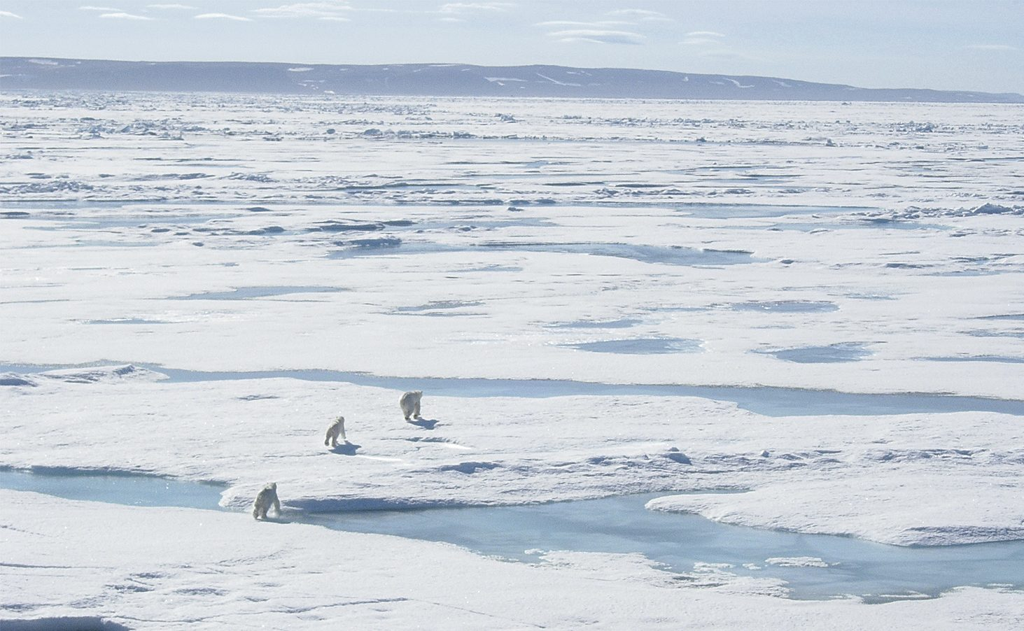 Polar Bears on journey