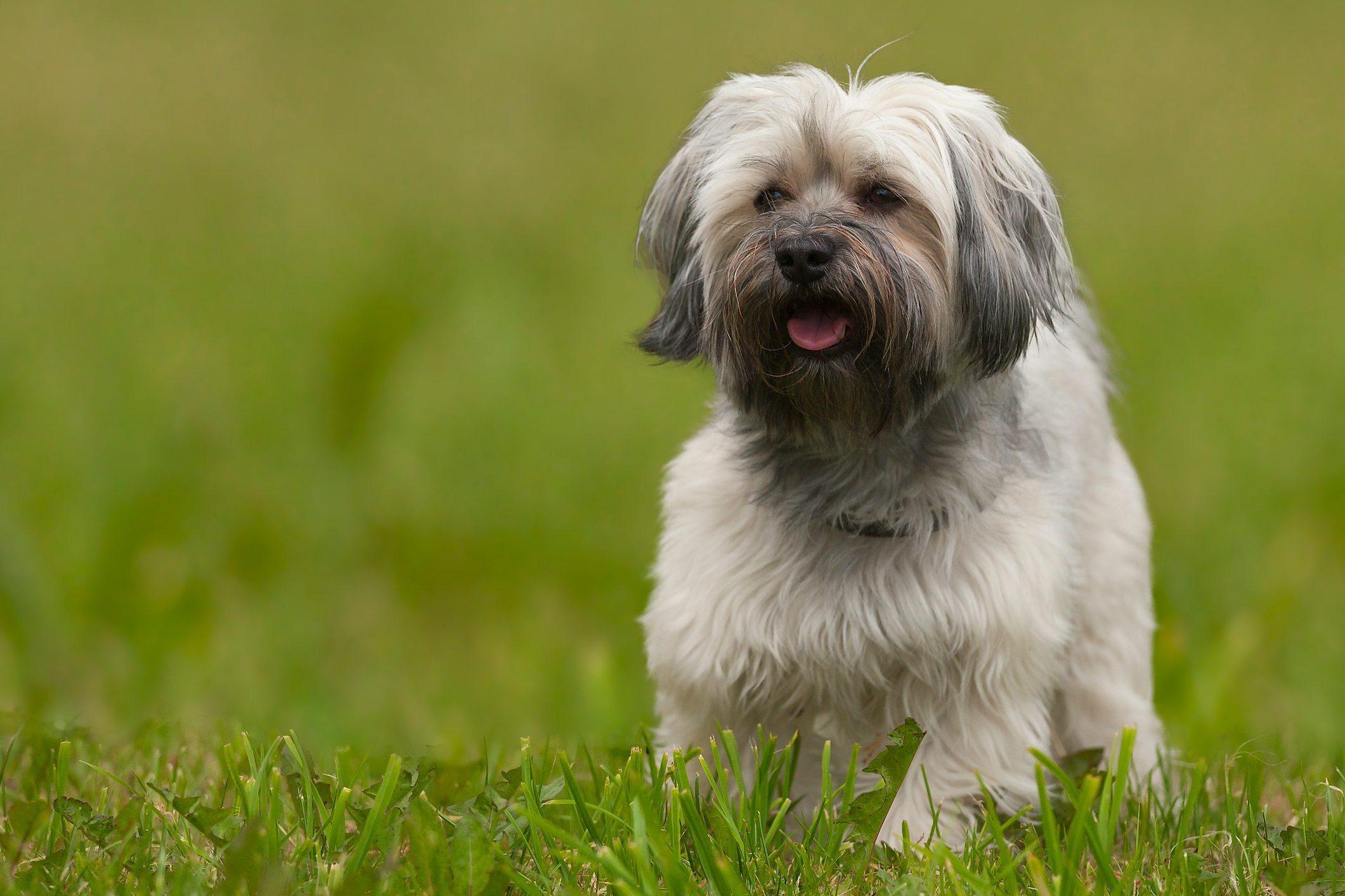 Havanese dog after a haitcut!
