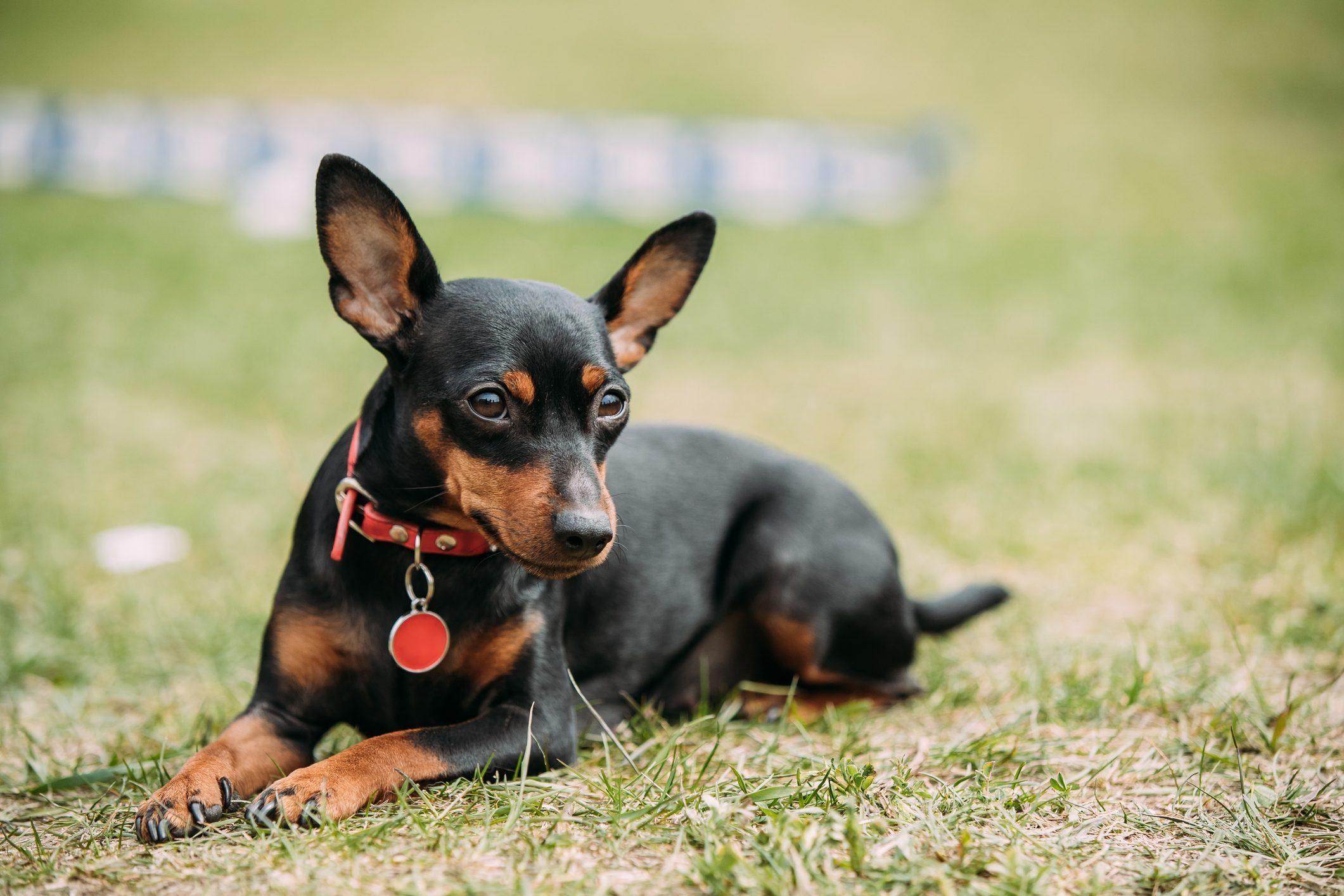 Black Miniature Pinscher Zwergpinscher, Min Pin Sitting On Green Grass