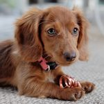 20 Dog Breeds That Live the Longest
