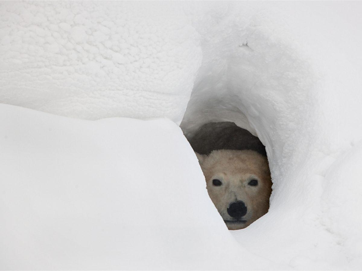 Polar Bear peeking out of den