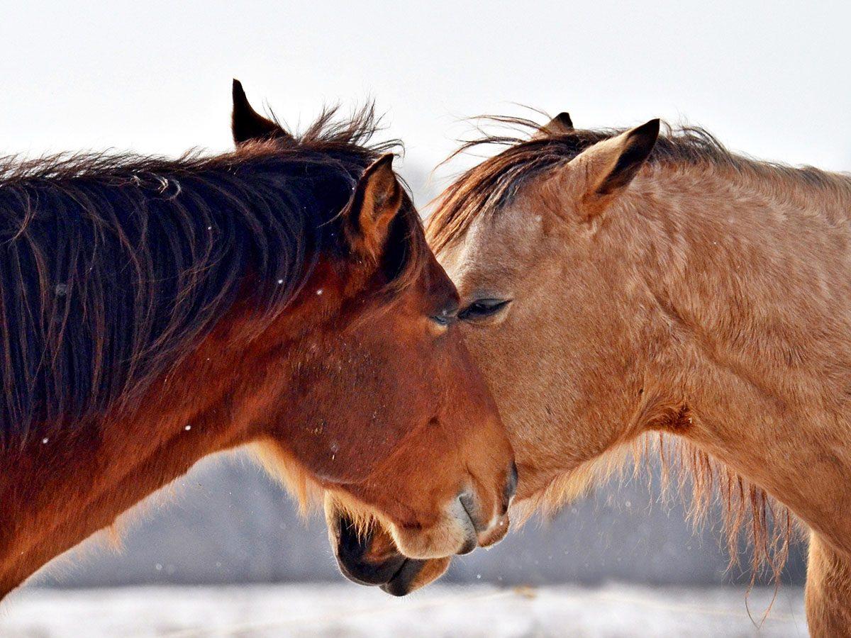 Two horses in a snowy field