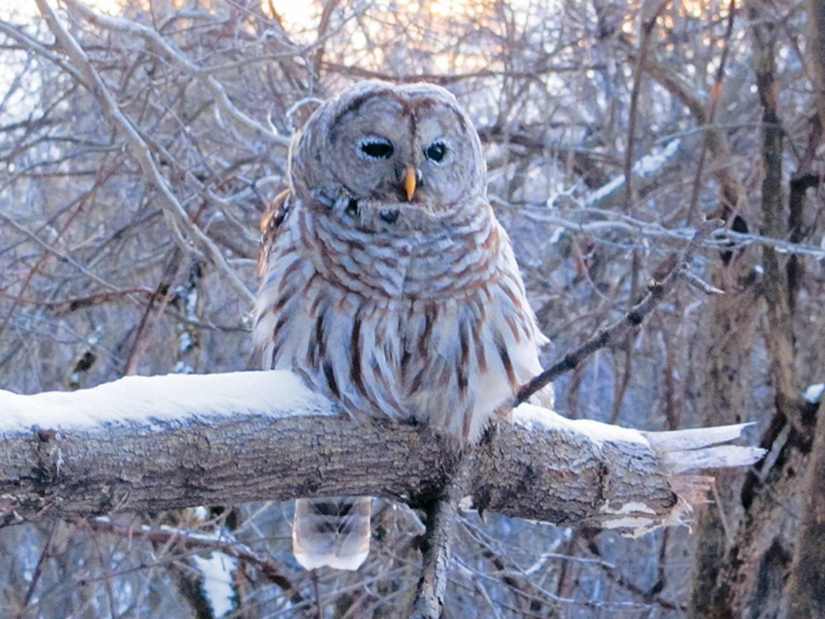 Barred owl perched on a snowy tree branch