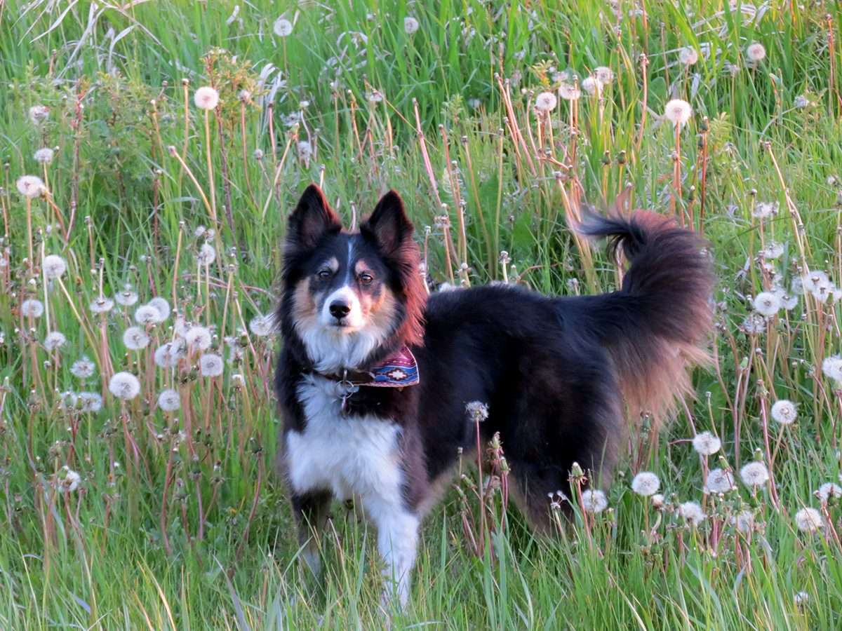 My Happy Place - Dog In Field With Dandelions