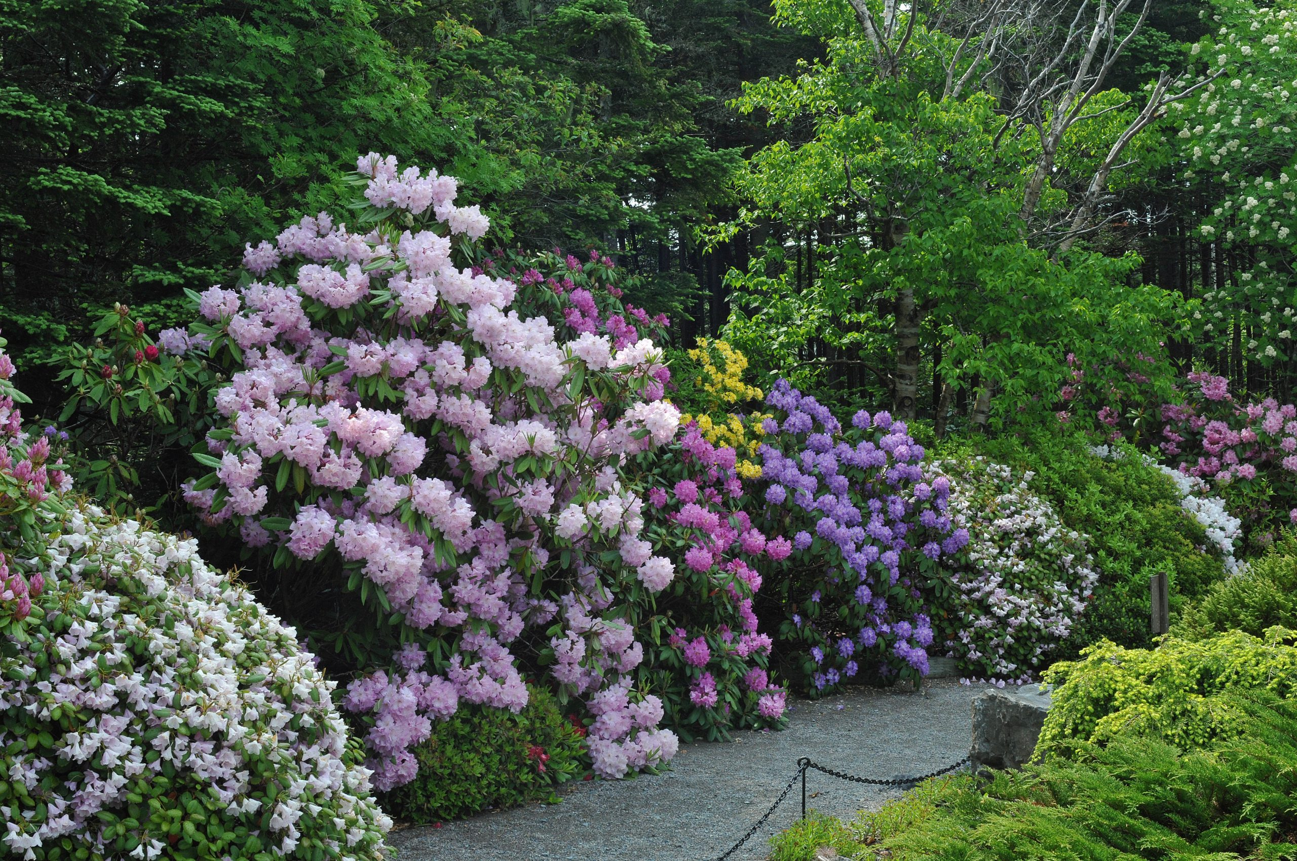 Newfoundland: Mun Botanical Garden Rhododendrons Credit Todd Boland