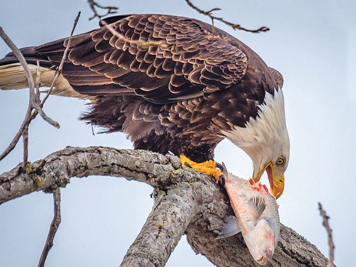 Grey Bruce attractions - a bald eagle enjoying its meal