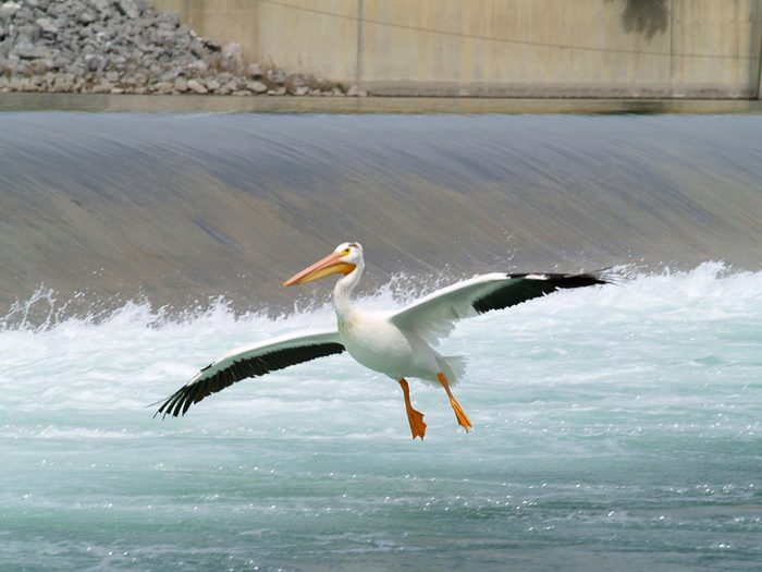 Birds of Canada - American White Pelican