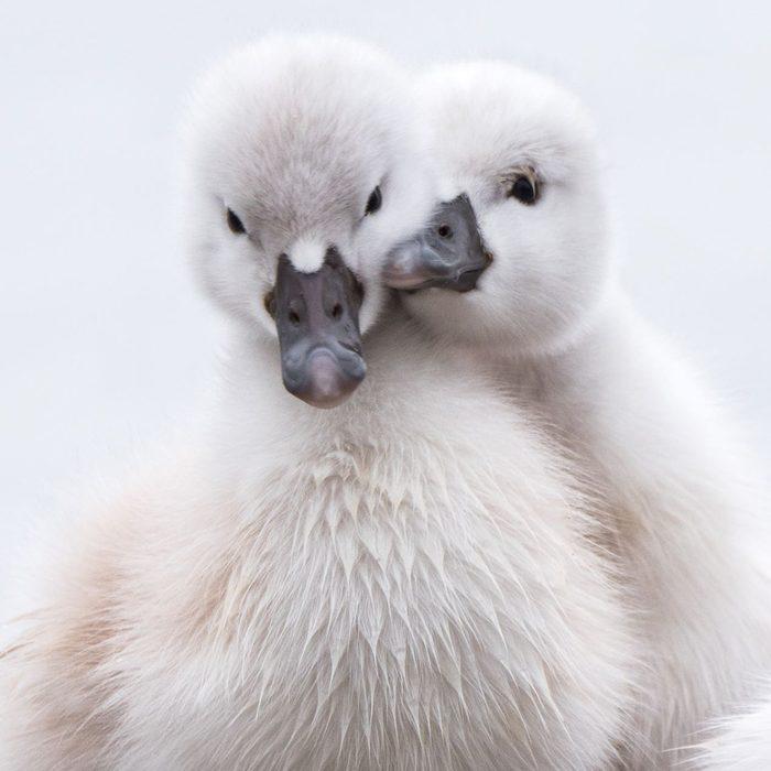 Birds Of Canada - Baby Mute Swans