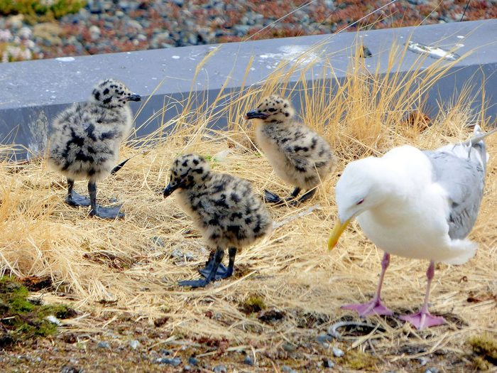 Birds Of Canada - Baby Seagulls