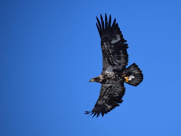 Birds Of Canada - Bald Eagle Juvenile