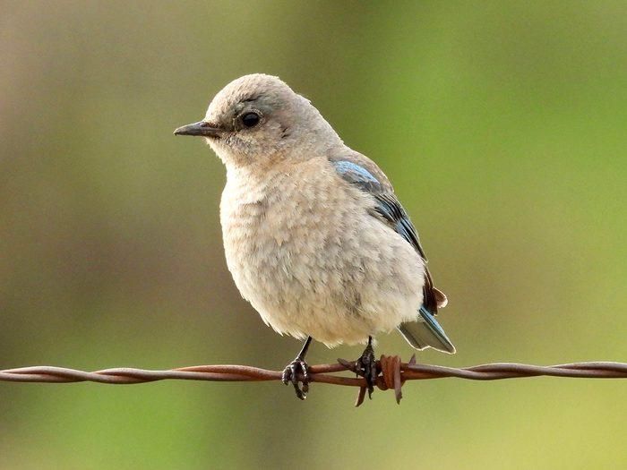 Birds Of Canada - Bluebird
