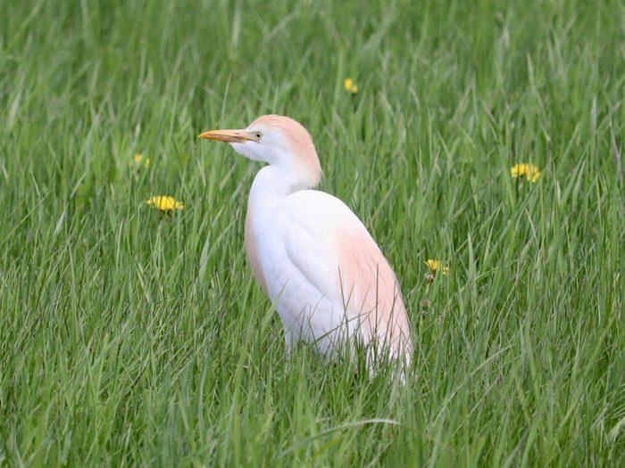 Birds Of Canada - Cattle Egret Nova Scotia